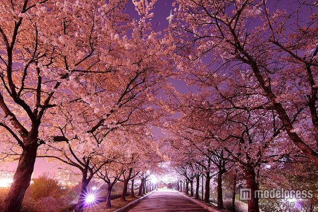 韓国でキレイな桜が見られるスポット5選/「オリンピック公園」/photo by Emy ^^【モデルプレス】