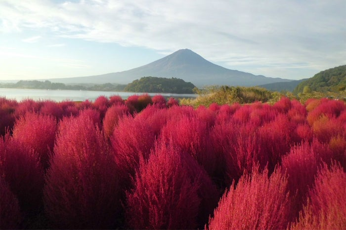 10月中旬~下旬には、ほうき草とも呼ばれる「コキア」が、緑から紅に染まる季節(提供画像)