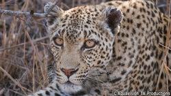 野生のヒョウ・マナナの生態を世界的カメラマンが記録