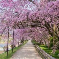 本当は秘密にしておきたい…!京美人がすすめる「意外と知られていない京都の桜の名所」