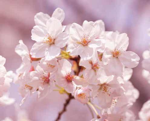 今年の桜の開花はいつ?気象予報士に聞いてみた!