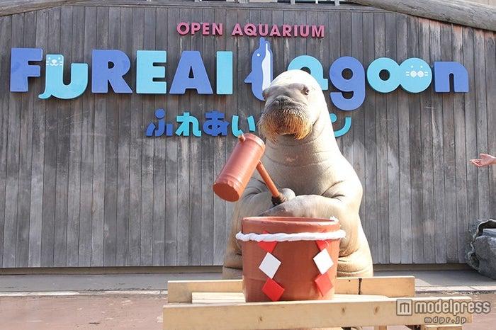 セイウチのお餅つき/画像提供:横浜八景島