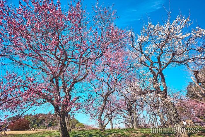 偕楽園/梅の開花シーズンは例年2月~3月下旬ころまで※写真は2月下旬(C)モデルプレス