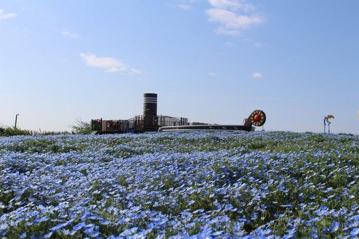 「ソレイユ☆パイレーツ」前のネモフィラの花畑/画像提供:ソレイユの丘