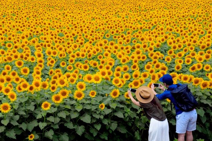 ビタミンカラーに元気をもらう 明野のひまわり畑/画像提供:北杜市観光協会