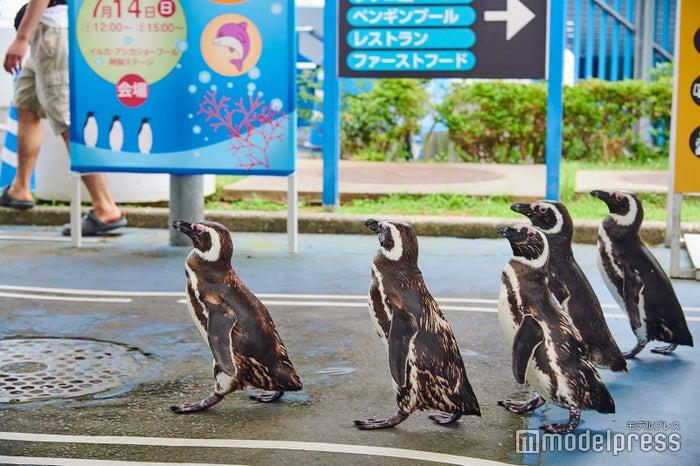 ペンギンのお散歩タイムは必見です。 (C)モデルプレス