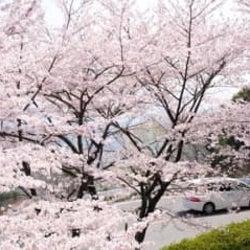 800本の桜が車の中で楽しめる♡関西の「春が感じられるドライブスポット」