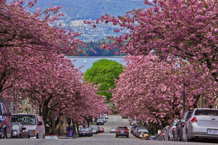 バンクーバーの桜/画像提供:Vancouver Cherry Blossom Festival