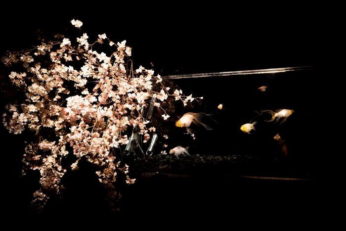 桜金魚 舞い泳ぐ/画像提供:アートアクアリウム製作委員会