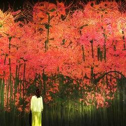 お台場「チームラボ ボーダレス」秋色に染まるアート展示、紅葉や彼岸花の景色広がる