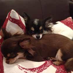 大政絢が1番愛情を注いでいる愛犬たち(画像提供:所属事務所)