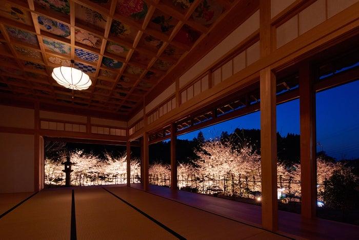 桜ライトアップ/画像提供:正寿院