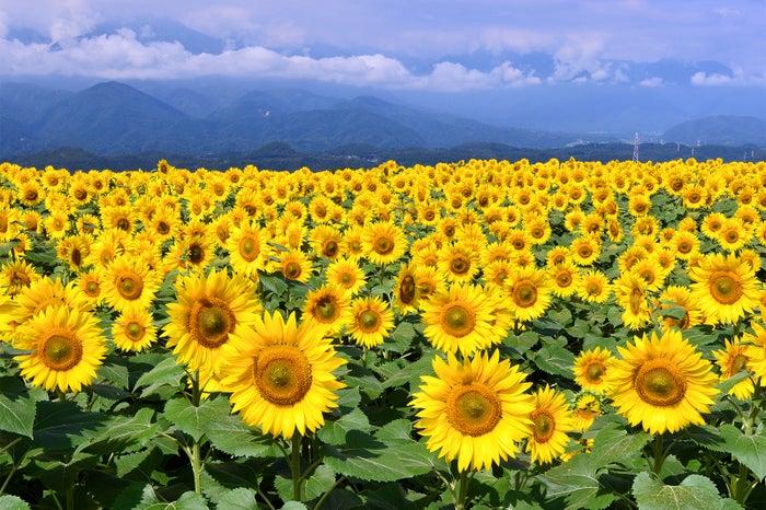太陽に向かって育つ向日葵たち 明野のひまわり畑/画像提供:北杜市観光協会