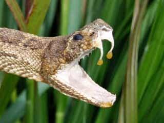 車内で毒ヘビに絡みつかれた男性 パニックに陥るも撃退に成功 ふと気づくと、両脚の間に毒ヘビが! 慌てた男性にヘビは容赦なく絡みつき、男性をひどく怖がらせた。