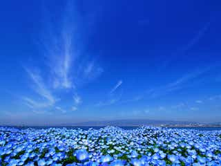 「ネモフィラ祭り2020」関西最大規模100万株のネモフィラ咲く青の絶景