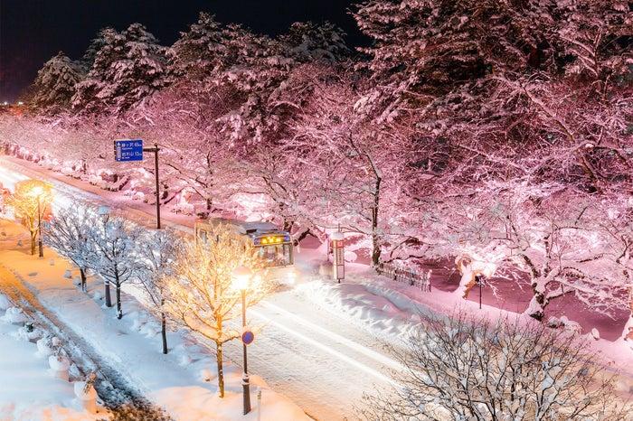 冬に咲くさくらライトアップ/画像提供:米山竜一