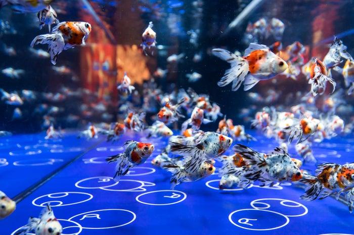 さまざまな金魚を鑑賞(イメージ)/画像提供:オリックス