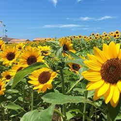 ヒマワリ花畑(横須賀市長井海の手公園 ソレイユの丘)/画像提供:ソレイユの丘