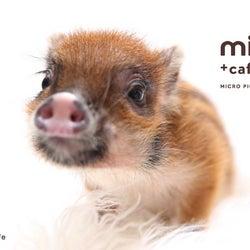 マイクロブタカフェ「mipig cafe」原宿に2号店オープン