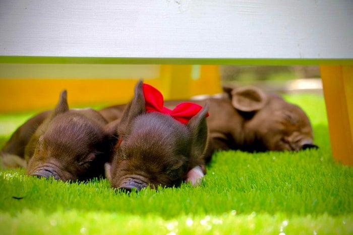 ピグニックファームアンドカフェ/画像提供:Littlepiggies