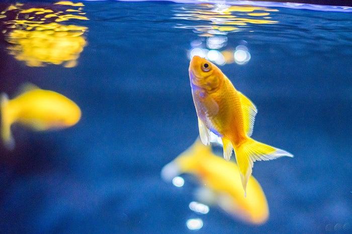 金魚展示イメージ(イエローコメット)/画像提供:オリックス