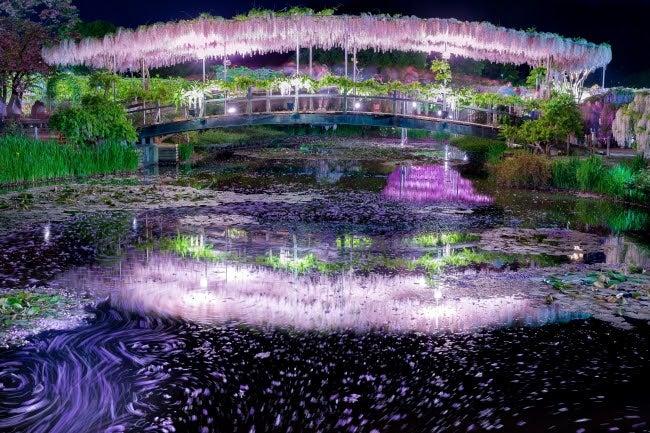 うす紅藤 夜/画像提供:足利フラワーリゾート