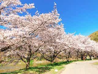 川床で夜桜を独り占めできる幻想的なグランピング!ワインと清流の音を愉しみながら大人のお花見