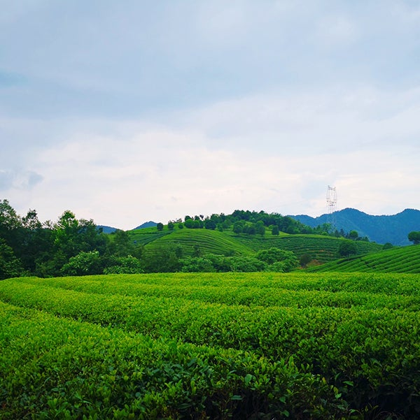 自家茶園で栽培した高品質な茶葉/画像提供:品道