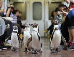 車内をペタペタ行進「ペンギン列車」が今年も運行 可愛いペンギンに癒される
