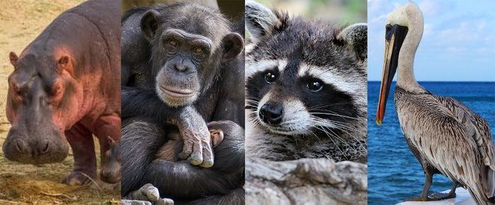 カバ、チンパンジー、タヌキ、ペリカン、あなたはどのタイプ?
