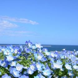大阪まいしまシーサイドパーク「ネモフィラ祭り2021」100万株のネモフィラ咲く青の絶景