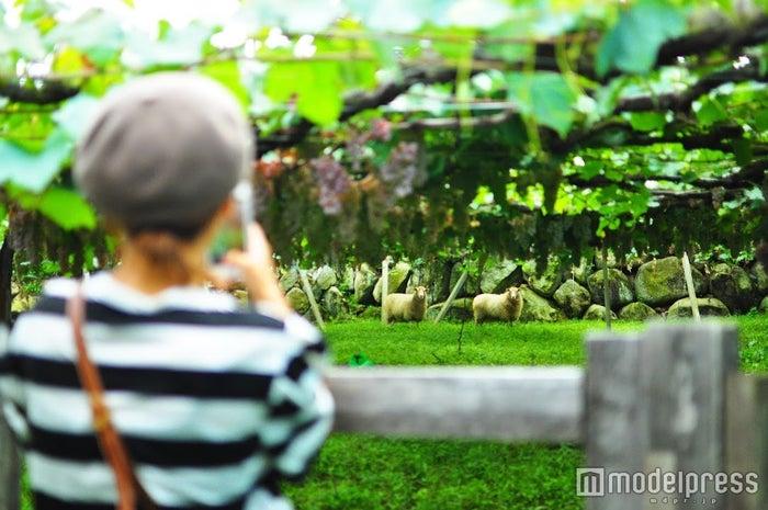 雑草を食べ、土を耕してくれる羊たち。彼等の排泄物は畑の肥料になるのだそう(C)モデルプレス