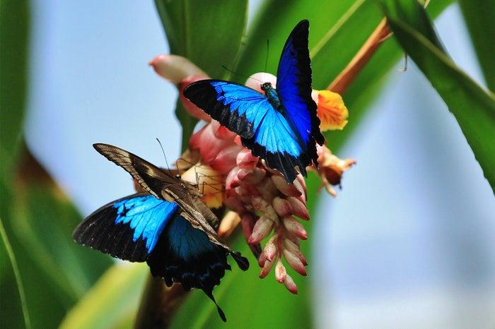 オーストラリアに生息する、幸せになれる蝶「ユリシス」/画像提供:JTBワールドバケーションズ