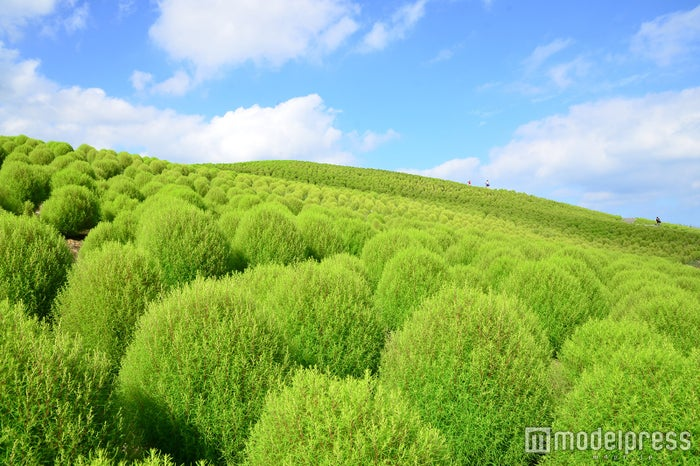 緑葉のコキア/画像提供:国営ひたち海浜公園