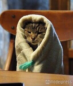 """映画『世界から猫が消えたなら』(公開中)に登場する猫「キャベツ」の""""キャベツ巻き"""""""