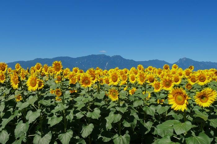 夏を感じる絶景 明野のひまわり畑/画像提供:北杜市観光協会