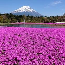 「2021富士芝桜まつり」富士山×関東最大級の芝桜が織りなす春絶景