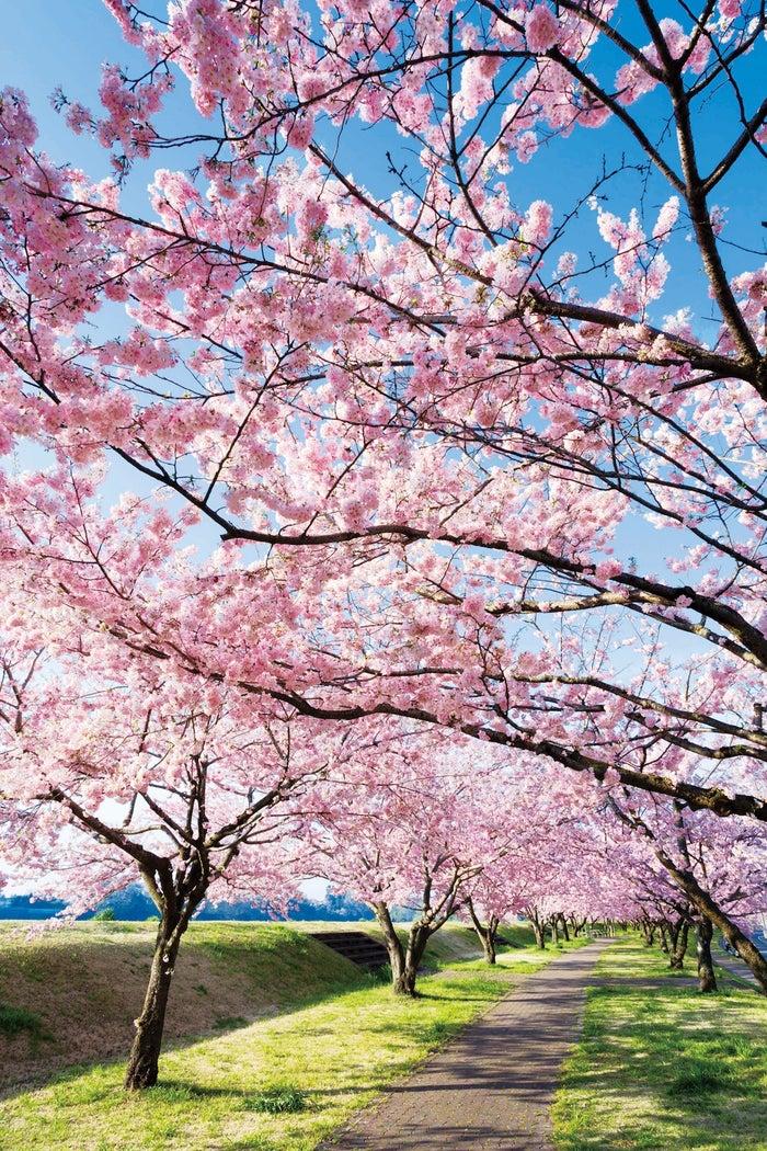 桜もいちごも温泉も大満喫の週末春旅!東京から最短41分、小山市にしかない桜を見に行こう/小山市
