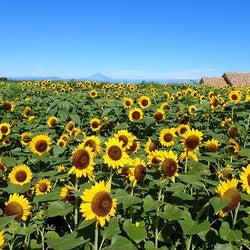 """約10万本のヒマワリ畑!横須賀「ソレイユの丘」で夏の絶景 """"花咲く""""タピオカドリンクも"""