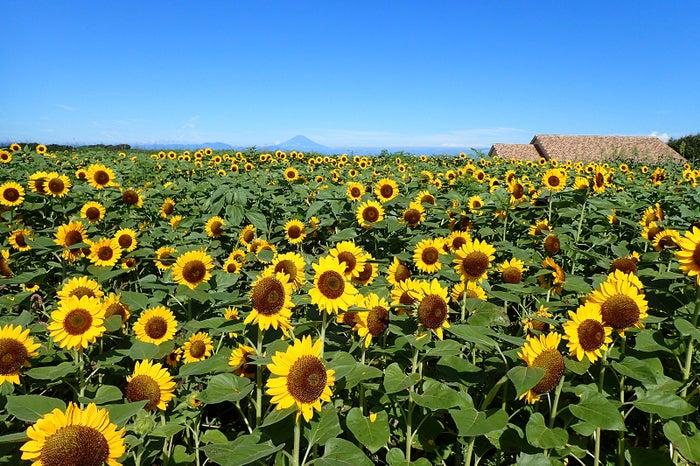 約10万本のヒマワリ花畑(横須賀市長井海の手公園 ソレイユの丘)/画像提供:ソレイユの丘
