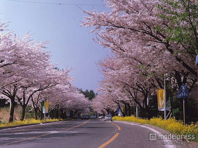 済洲島・市民福祉タウン周辺の桜/photo by KOREA.NET - Official page of the Republic of Korea