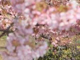 春本番の陽気、ピンクと黄色の花が競演 神戸・西郷川河口公園