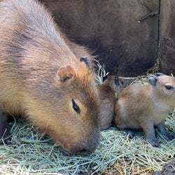 伊豆シャボテン動物公園にカピバラ2頭が誕生 他4頭のベビーラッシュも話題に