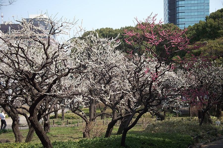 芝公園の梅