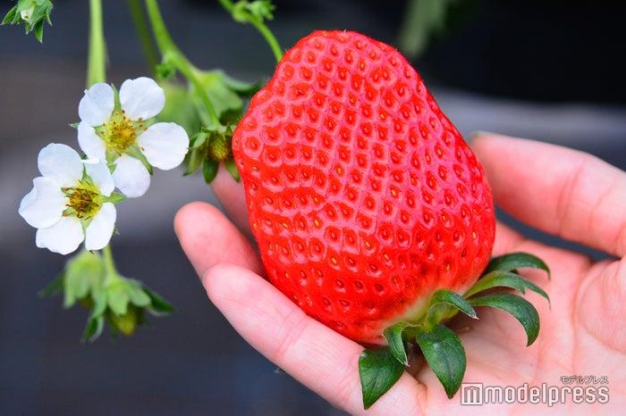 手のひらサイズの大ぶりいちごも驚くほど甘い!(C)モデルプレス
