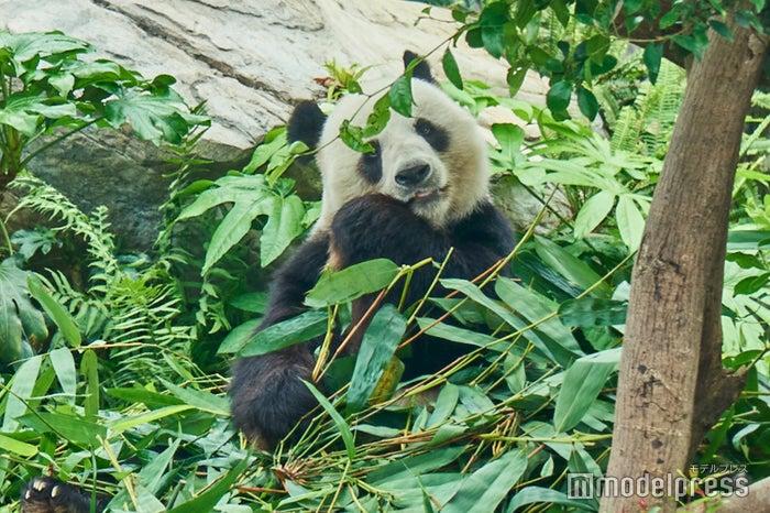 日本にはないパンダとの距離感に大興奮!(C)モデルプレス