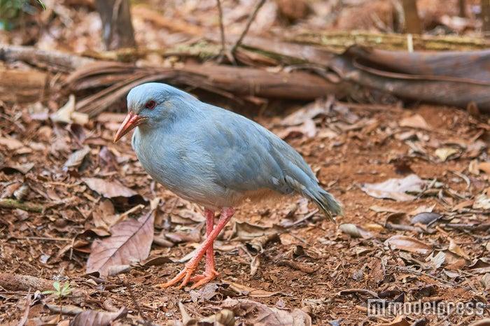 ニューカレドニアの国鳥で、飛べない鳥「カグー」(C)モデルプレス