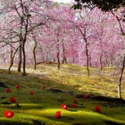 【しだれ梅と椿の共演も】早春の京都を楽しむ!しだれ梅の名所「城南宮 神苑」