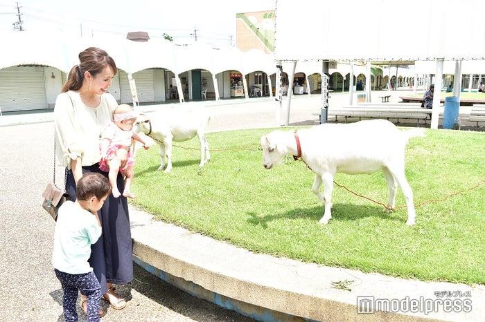 名古屋競馬場にはヤギが2頭くつろいでいました