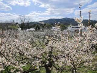 滋賀・大津市で1,000本の白梅が咲き誇る!2020年梅の見ごろ予想